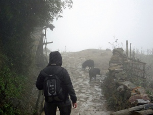 Chasing piglets